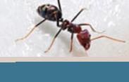 Ants (carpenter, pharaoh, pavement)