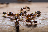 ant control in Toronto for homes & businesses