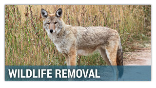 Wildlife Removal - coyote