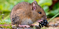 Mice removal for Toronto residents and businesses